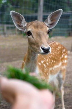 Hand feeding a deer with a grass. Cute deer closeup.