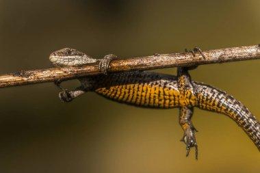 Light brown lizard hanging on a branch
