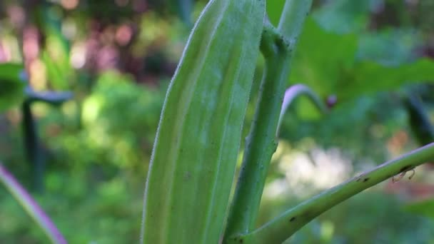Young green okra on tree in vegetable garden garden