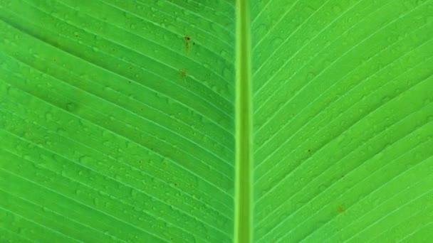 A banánfa levelei Texturált háttér fény friss zöld Levél elvont háttér