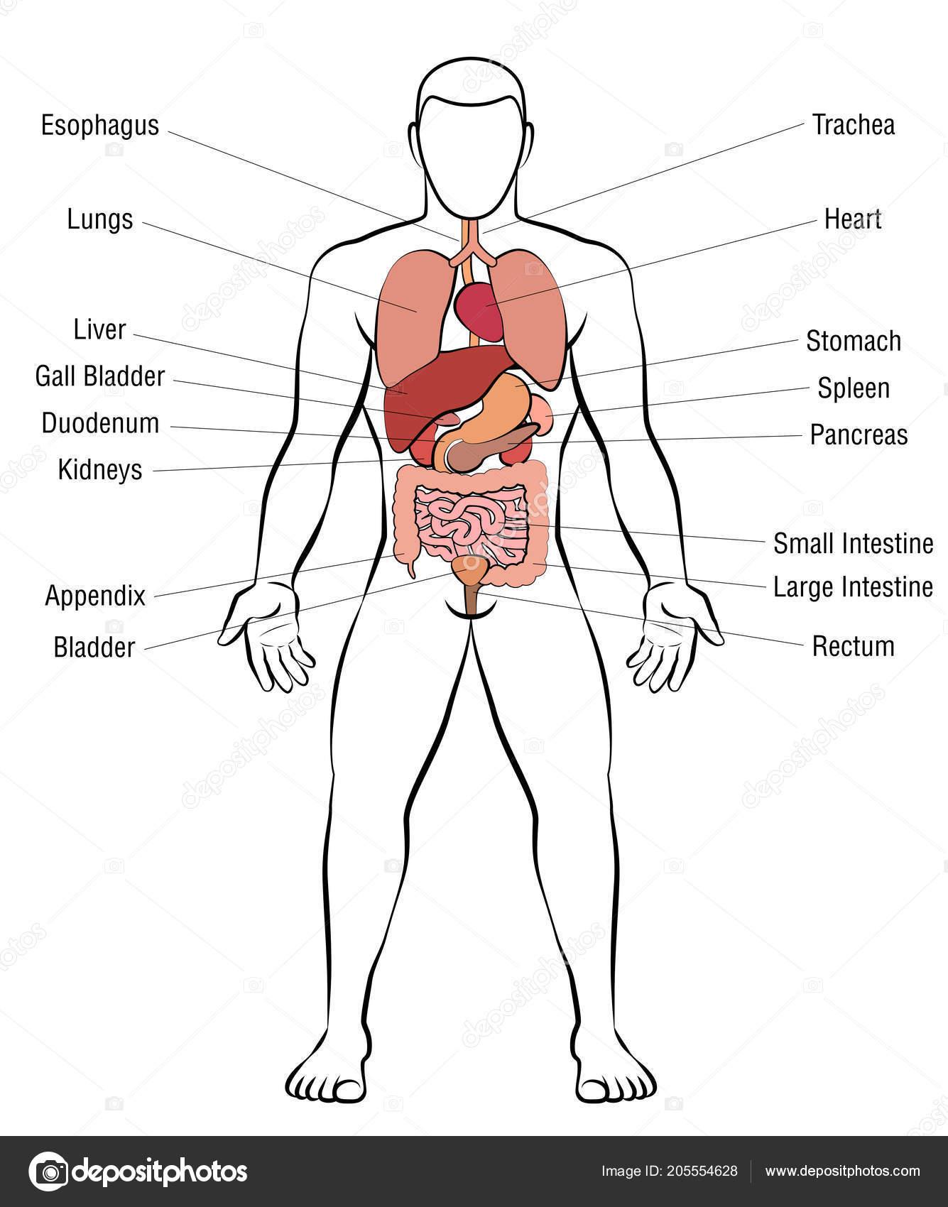 Internal Organs Male Body Schematic Human Anatomy Illustration ...
