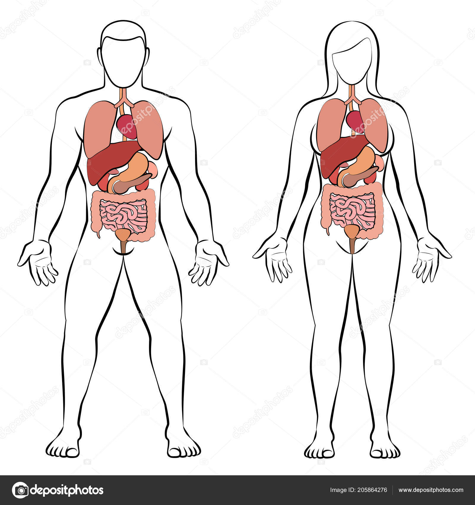 digestive tract internal organs male female body schematic human
