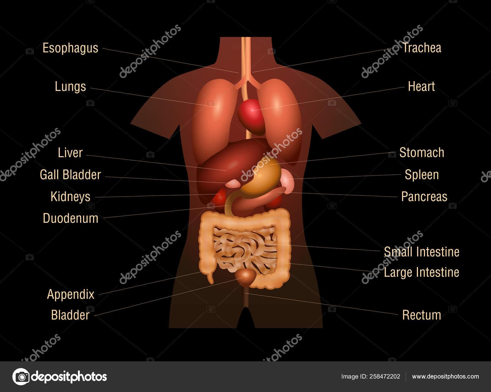 Internal Organs Human Anatomy Chart Names 3d Vector Image By C Furian Vector Stock 258472202