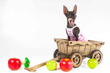 The dog sits in a cart. A dog with an open mouth. A dog with apples.