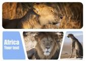 Animali selvatici in Africa. Sud Africa. Leone africano. Safari con i leoni. Parchi nazionali con animali selvatici. Il leopardo è seduto sulla macchina. Kenia. Collage con predatori.