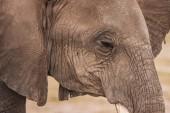 Slon. Africe. Keňa. Cesta přes Afriku. Africký sloní portrét. Zvířata v Keni. Safari v národním parku. Ústí slona.