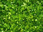 Zöld levelek. Zöld lombos fal.