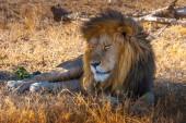 Africa. Viaggio in Kenya. Il leone si trova allombra di un albero. Leone africano. Safari in Africa. Animali del Kenya.