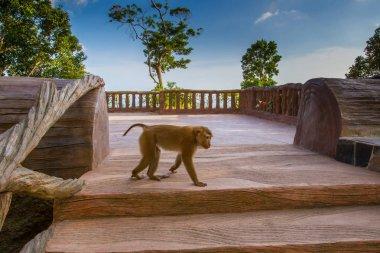 Thailand. Phuket A monkey. Rest in Thailand. Animals in Asia.