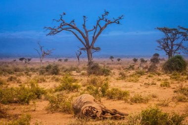 Dead elephant. Hunting for elephants. Scavengers. Kenya. Africa.