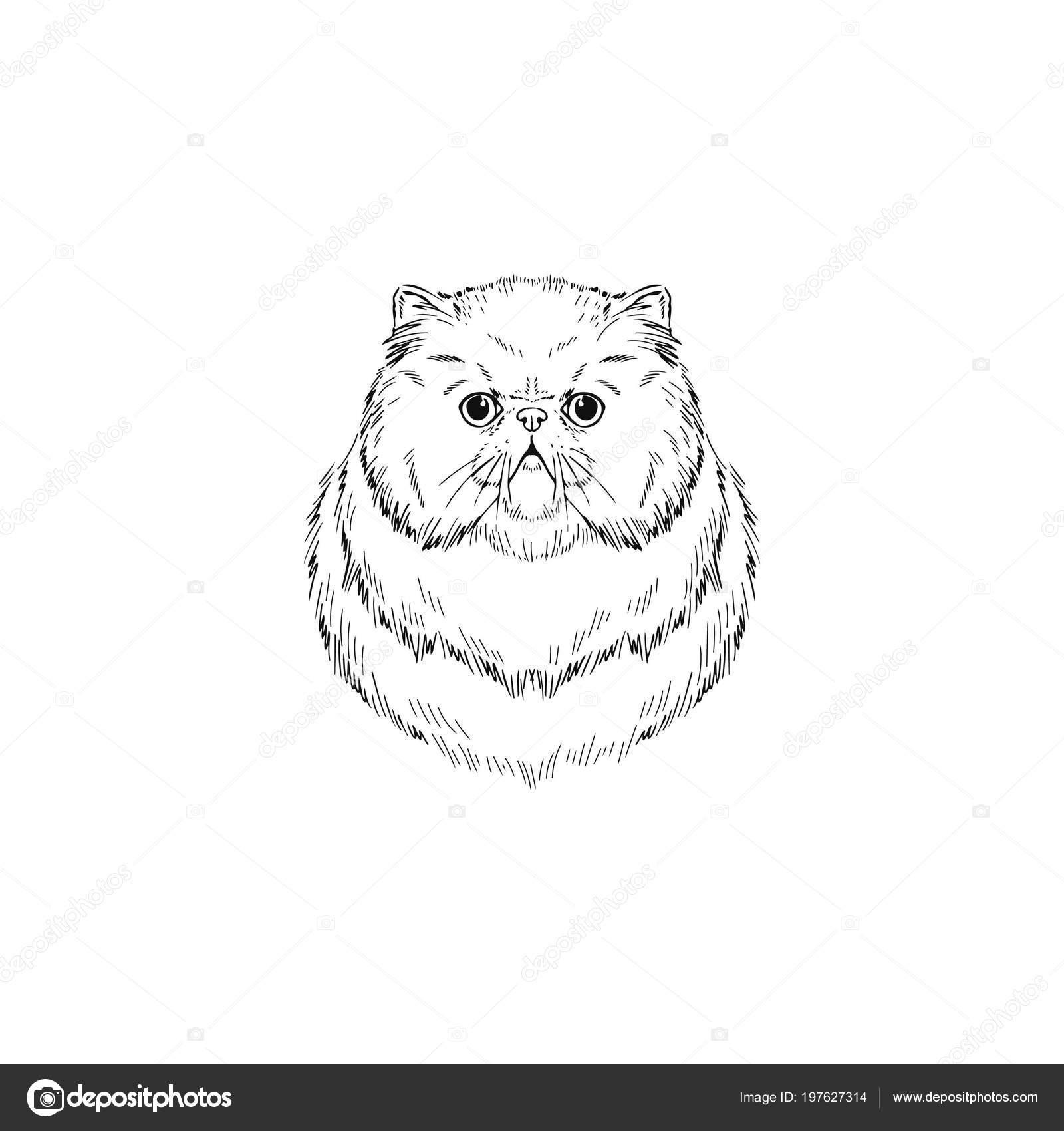 Persian cat portrait sketch illustration stock vector