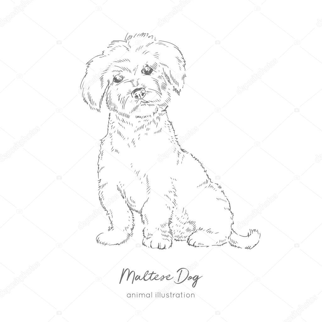 Vector illustration of Maltese dog