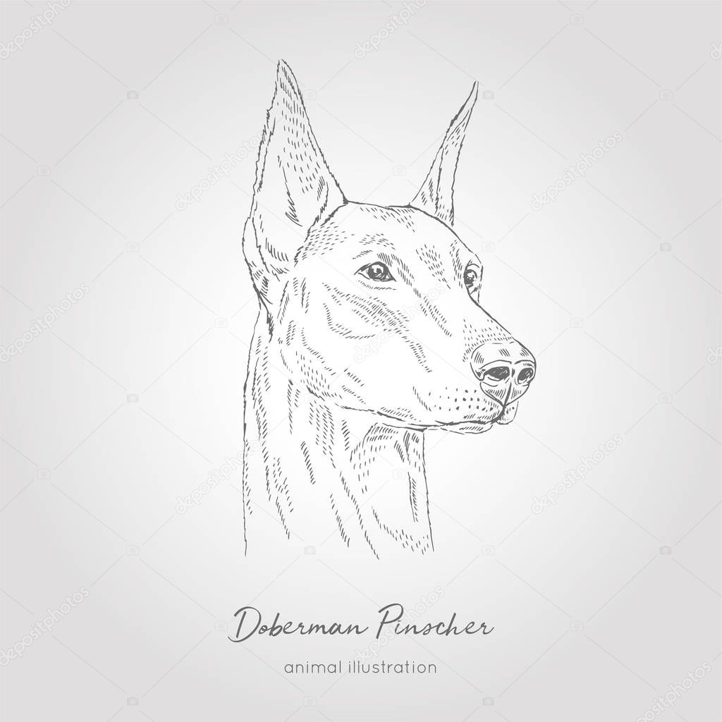 Vector profile portrait illustration of Doberman Pinscher dog breed