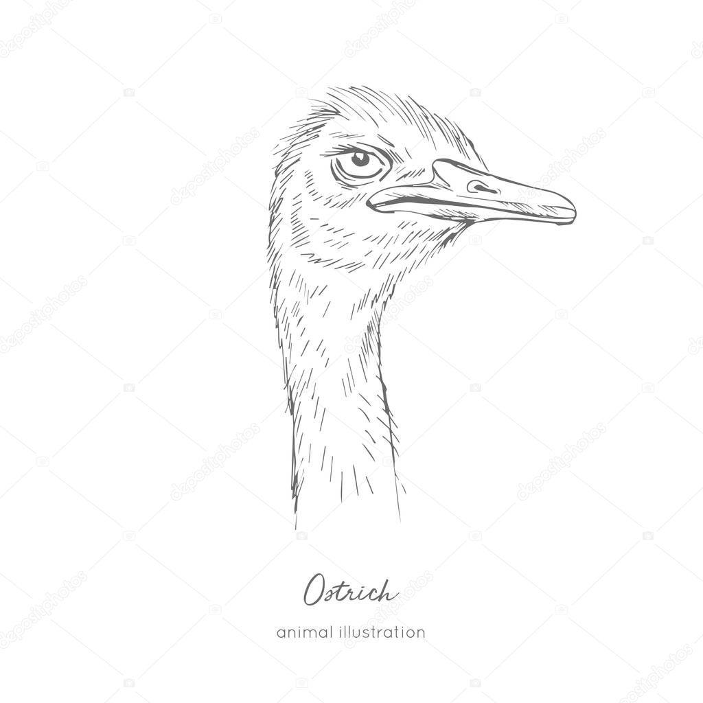 Side view Vector portrait illustration of ostrich bird