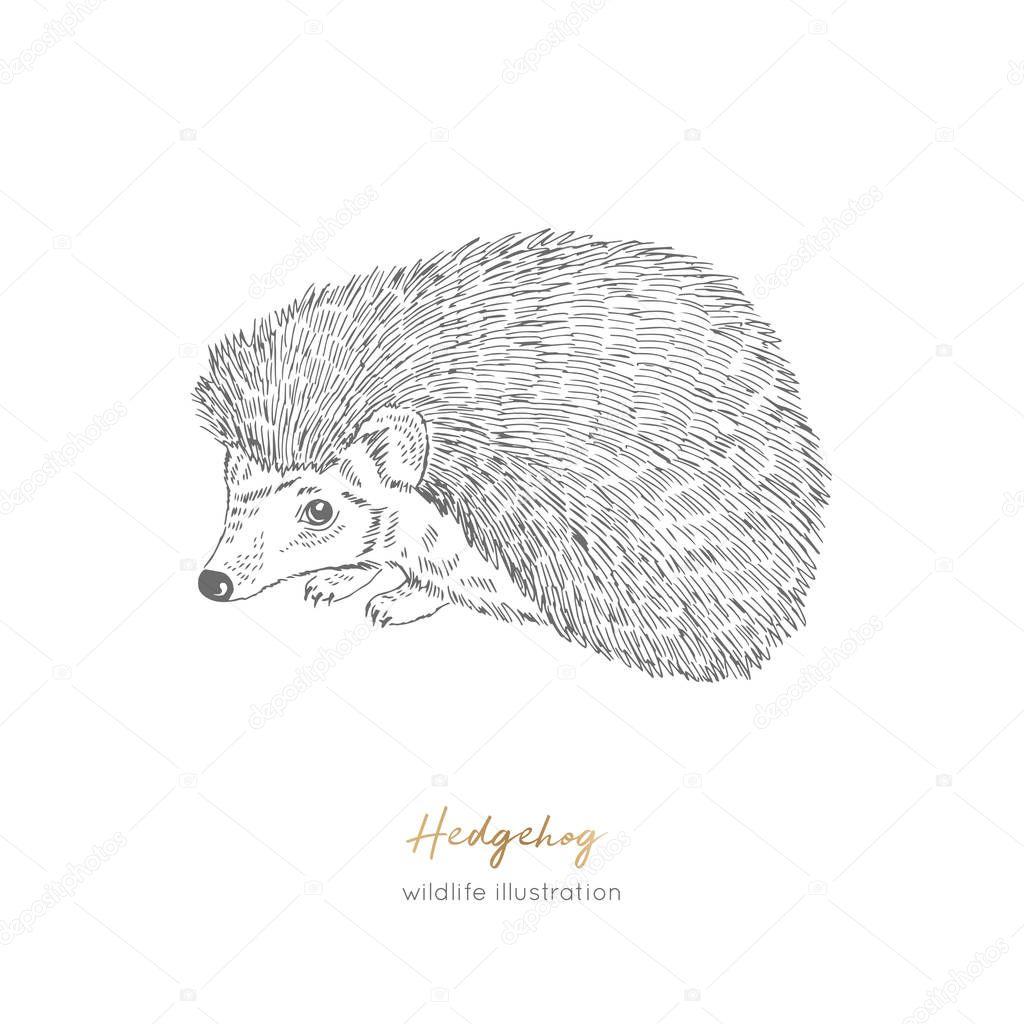 Vector illustration of Hedgehog forest animal