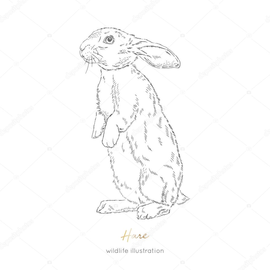 Vector illustration of hare forest animal