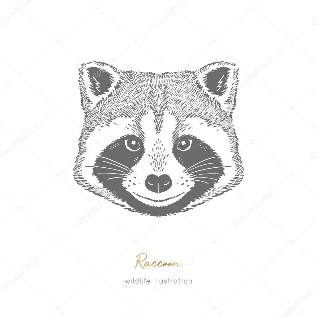 Symmetrical Vector portrait illustration of raccoon forest animal. Hand drawn ink realistic animal sketching isolated on white. Perfect for logo branding design.