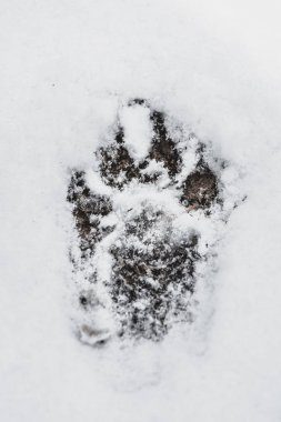 Dog's trace on the white snow in the winter forest.