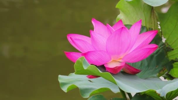 A rózsaszín lótusz virág és a Lotus Bud egy tóban. Pink lótusz virág és a lótusz