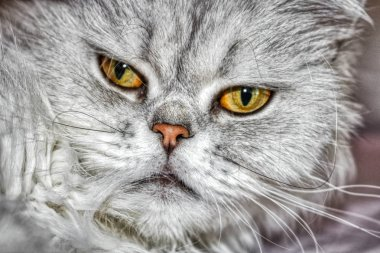 This unique picture shows a Chinchilla Persian cat named Lucy. you can clearly see their beautiful eyes