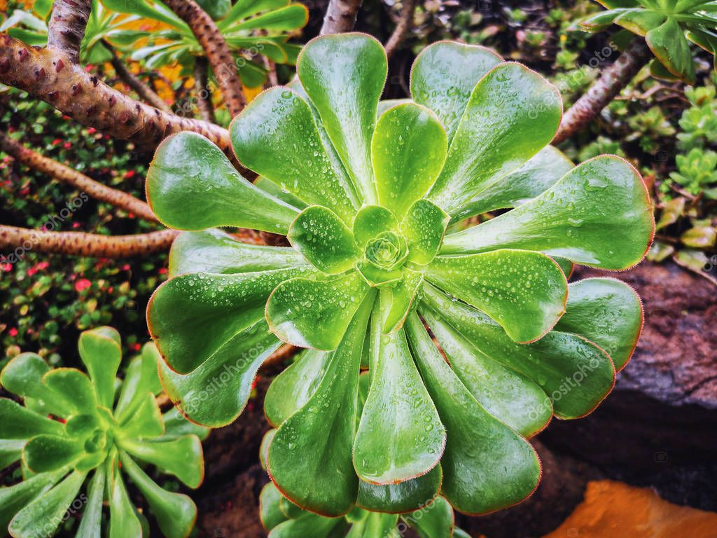 Top view of a wet green Aeonium Succulent with drops