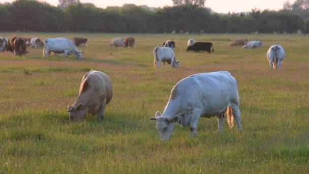 Kühe grasen bei Sonnenuntergang im Gegenlicht auf der Wiese