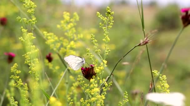 White butterfly on the flower, fighting with the wind. Aporia crataegi