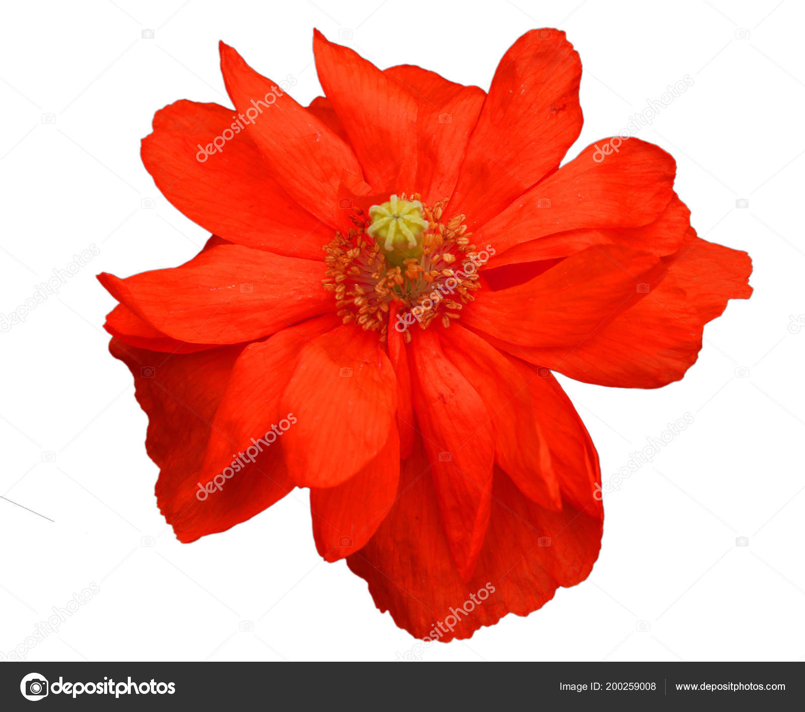 Magnifique Fleur Coquelicot Decorative Rouge Isole Sur Fond Blanc
