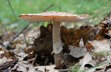 European blusher (Amanita rubescens) in a wild forest