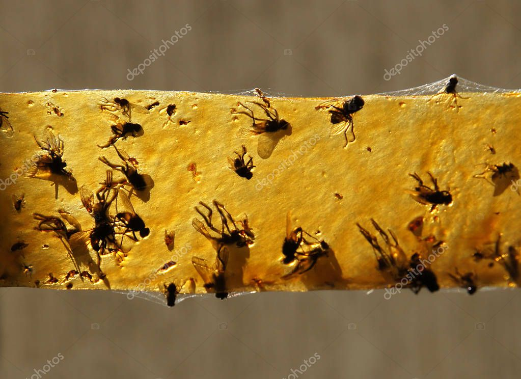 Dead flies on a sticky tape for catching insects