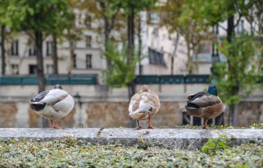 Ducks relaxing on riverbank of Seine River in Paris, France.
