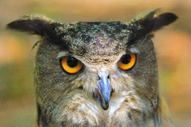 """Картина, постер, плакат, фотообои """"большая рогатая сова, вид поближе. фон дикой природы картины"""", артикул 267373194"""