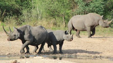 Wildlife from Africa. The very Rare and Endangered Black Rhinos