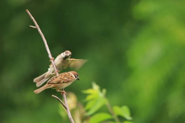close up of sparrows in green park