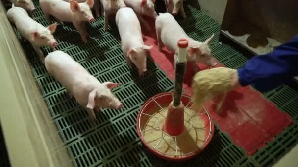 A sertéstartó gazdaságban fogyasztható rózsaszínű malacok