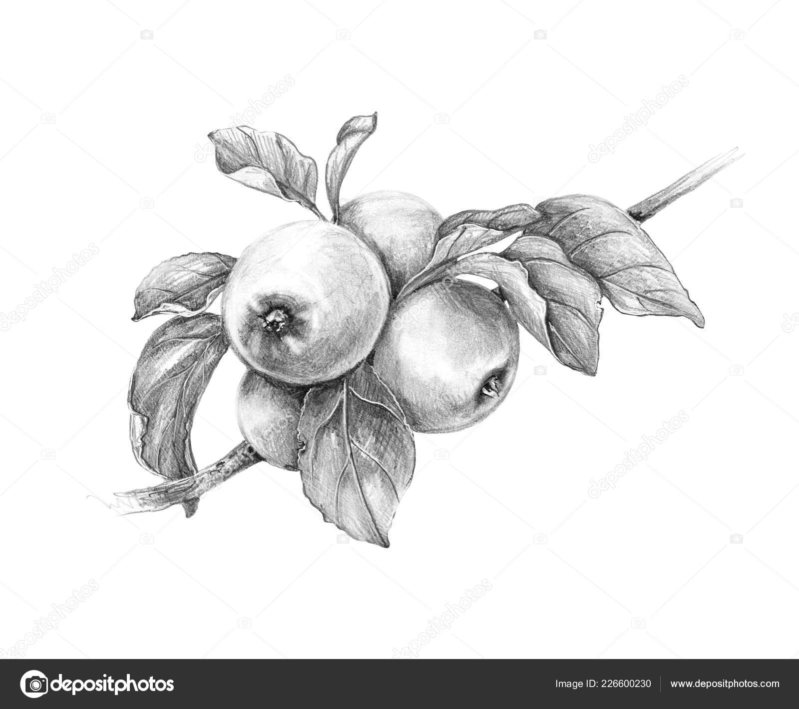 Hand drawn apple branch isolated white background monochrome sketch