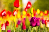 Tarka tulipánok a parkban, a gyepen. Jelképe a szeretet és a lopás. Szerint a Feng Shui, tulipánok szimbolizálja a kezdet, a születés valami új. Hihetetlenül szép virágok! A kábító palettája árnyalatok és a különböző fajták, hogy a