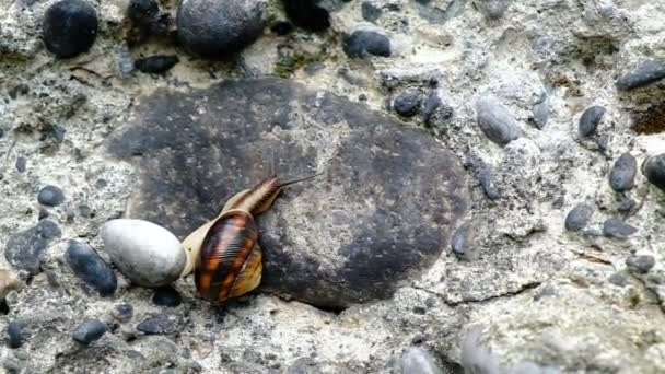 Mountain snail creeps on a stone wall. Mollusks gathered in one place. Day. Georgia.