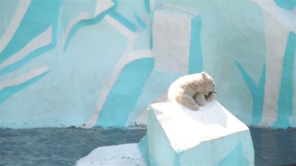 Aranyos fehér jegesmedve cub játszó önmagával