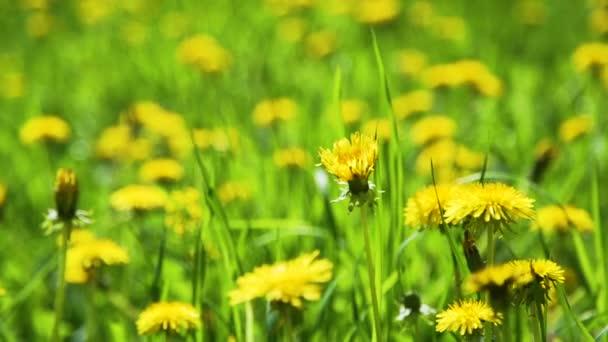 Uzavření žlutých Dandeliů na jaře