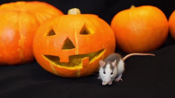 Little Rat Eating near Jack-o-Lantern