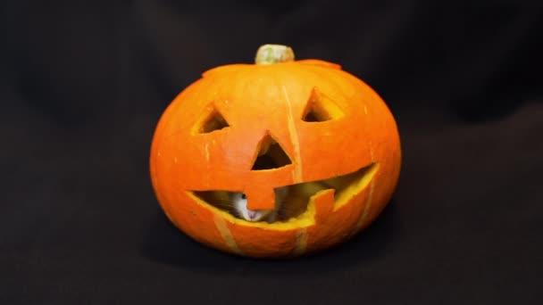 Little Rat Inside Jack-o-lantern on Halloween