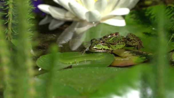 Evropská zelená žába pohledu zepředu sedět na leknín list s bílým květem v pozadí plave vpřed na konci