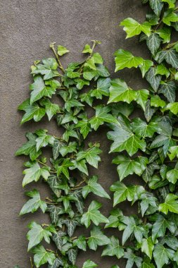 Common ivy growing up a grey brown wall