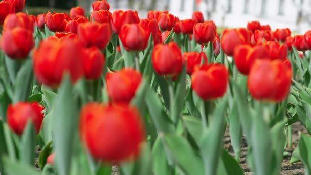 Vörös tulipán gyep virágzó virágok