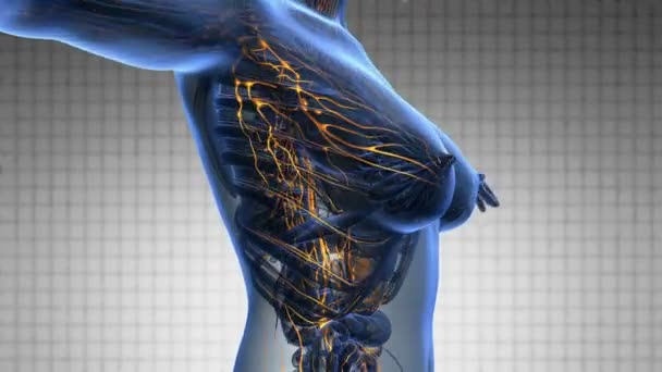 Anatomie ženské limfatické soustavy