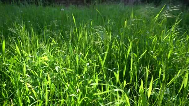 Green grass in sunshine with wind and flies