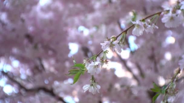 Egy ága cseresznyefa rózsaszín virágok közelről fújt a szél