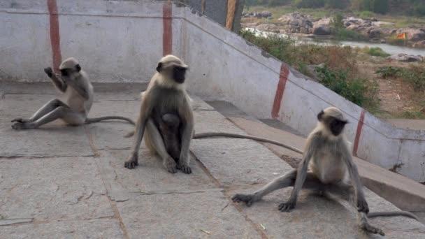 Langur monkeys live near people.