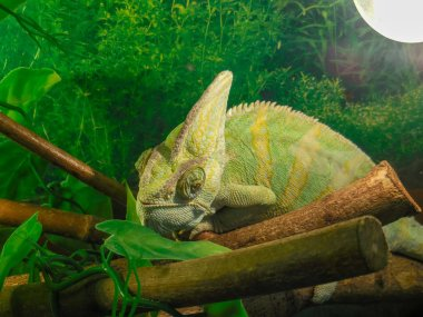 Close up of cute colorful chameleon profile at zoopark in Chelyabinsk,  Russia. A large colorful chameleon on a wooden branch With green background. Colorful lizard panther chameleon skin green, brown, yellow, golden